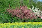 Arbres en fleurs dans les terres agricoles dans la vallée de la Seine, Eure, Basse Normandie, France, Europe