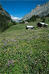 Early summer meadow flowers, Gasterntal, above Kandersteg, Bernese Obereland, Swiss Alps, Switzerland, Europe
