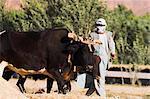 Man threshing with oxen, Bamiyan, Bamiyan Province, Afghanistan, Asia