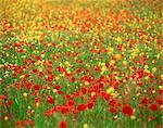 Wild flowers including poppies in a field in Majorca,Balearic Islands, Spain, Europe