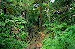 Fougères arborescentes, jardins botaniques de Kirstenbosch, Cape Town, Afrique du Sud, Afrique