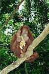 Orangs-outans (Pongo pygmaeus) est assis dans un arbre, manger des bananes, sanctuaire Sepilok, Sandakan, Sabah, Borneo, Malaisie, Asie