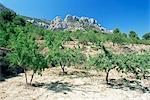 Almond trees in the Sierra de Aitana, Alicante area, Valencia, Spain, Europe
