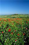 Découvre à travers champ de coquelicots au village perché au-dessus de Val d'Orcia, Pienza, Toscane, Italie, Europe