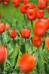 Champ de tulipes Oranjezon