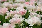 Champ de tulipes Maywonder