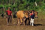 Père et fils menant le bétail utilisé pour ratisser un champ à Minho au nord du Portugal, Europe