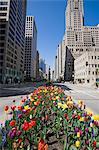 Tulips on North Michigan Avenue, The Magnificent Mile, Chicago, Illinois, United States of America, North America