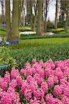 Pink hyacinths, Keukenhof, park and gardens near Amsterdam, Netherlands, Europe