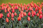 Tulips, Keukenhof, park and gardens near Amsterdam, Netherlands, Europe