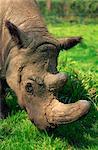 Tormanga mâle, poilu rhino (rhino de Sumatra), près d'éteints comme gauche seulement 500, au programme de reproduction en captivité, Port Lympne Zoo, Kent, Angleterre, Royaume-Uni, Europe