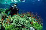 Diver with Anthias fish swimming around hard coral, Laguna Reef, Straits of Tiran, Red Sea, Egypt, North Africa, Africa