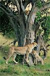 Cubs de guépard (Acinonyx jubatus) huit mois, jouant dans l'arborescence, Masai Mara National Reserve, Kenya, Afrique de l'est, Afrique