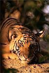 Cub tigre chinois indo, Panthera tigris corbetti, Tiger sanctualy pour animaux confisqués, Khao Hin fils, Thaïlande, Asie du sud-est, Asie