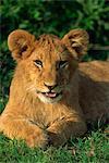 Lionceau (Panthera leo), réserve nationale de Masai Mara, Kenya, Afrique de l'est, Afrique