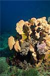 Eponger avec crinoïdes ou featherstars, Sabah, Malaisie, Bornéo, l'Asie du sud-est, Asie