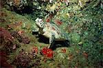 Hawksbill turtle resting on ledge of reef, Sabah, Malaysia, Borneo, Southeast Asia, Asia