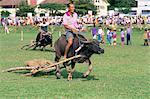 Racing buffalo pulling plough at Kota Belud festival in November, Sabah, Malaysia, island of Borneo, Southeast Asia, Asia