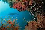 Silhouetted diver above reef off Saparua Island, Moluccas, Indonesia, Southeast Asia, Asia