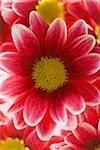 Gros plan de fleurs rouges
