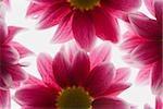 Gros plan de fleurs roses