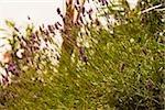 Lavender plants in a field, Cinque Terre National Park, La Spezia, Liguria, Italy
