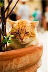 Portrait of a cat sitting in a potted plant, Via Colombo, RioMaggiore, Cinque Terre, La Spezia, Genoa, Liguria, Italy