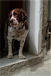 Dog standing at a door, Cinque Terre National Park, Vernazza, La Spezia, Liguria, Italy