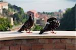 Two pigeons standing, Vietri sul Mare, Costiera Amalfitana, Salerno, Campania, Italy
