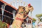 Camel in festival attire