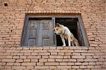 Dog Looking Out Window, Chapagaon, Nepal