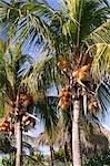 Palm Trees, Cayo Largo, Kuba