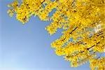 En regardant vers le haut Bush Forsythia jaune