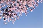 En regardant vers le haut d'amandiers en fleurs