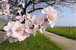 Amande fleurs le long du chemin au printemps, Gimmeldingen, Rhénanie-Palatinat, Allemagne