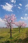 Almond Trees by Vineyard, Gimmeldingen, Rhineland-Palatinate, Germany