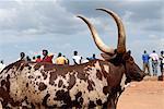 Ankole cow, Kampala, Uganda, East Africa, Africa