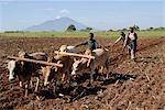 Charrue Ox, Mont Babati Hanang, Tanzanie, Afrique de l'est, Afrique