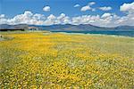 Field of wild flowers in Spring, Lesbos, Eastern Islands, Greece, Europe