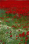 Wild poppies, Anatolia, Turkey, Asia Minor, Eurasia