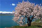 Tree in blossom, Akdamar Island, Lake Van, Anatolia, Turkey, Asia Minor, Eurasia