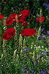 Wild flowers and poppies, Cappadocia, Anatolia, Turkey, Asia Minor, Eurasia