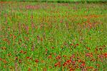 Fleurs sauvages, y compris les coquelicots sur Majorque, îles Baléares, Espagne, Europe