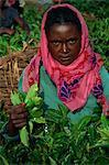 Woman picking leaves for tea, Uganda, East Africa, Africa