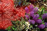 Le coloré corail et mer plantes, Honduras, Amérique centrale