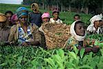 Picking tea on a plantation, Bonga forest, Ethiopia, Africa