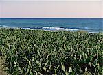 Bananas on the Cilician coast, Anatolia, Turkey, Asia Minor, Eurasia