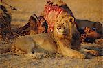 Lion (Panthera leo), Okavango Delta, Botswana, Africa