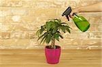 Indoor plant is being sprinkled