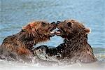 Gros plan de deux grizzlis jouer combats dans le centre de Conservation de la faune de l'Alaska au centre-sud de l'Alaska printemps